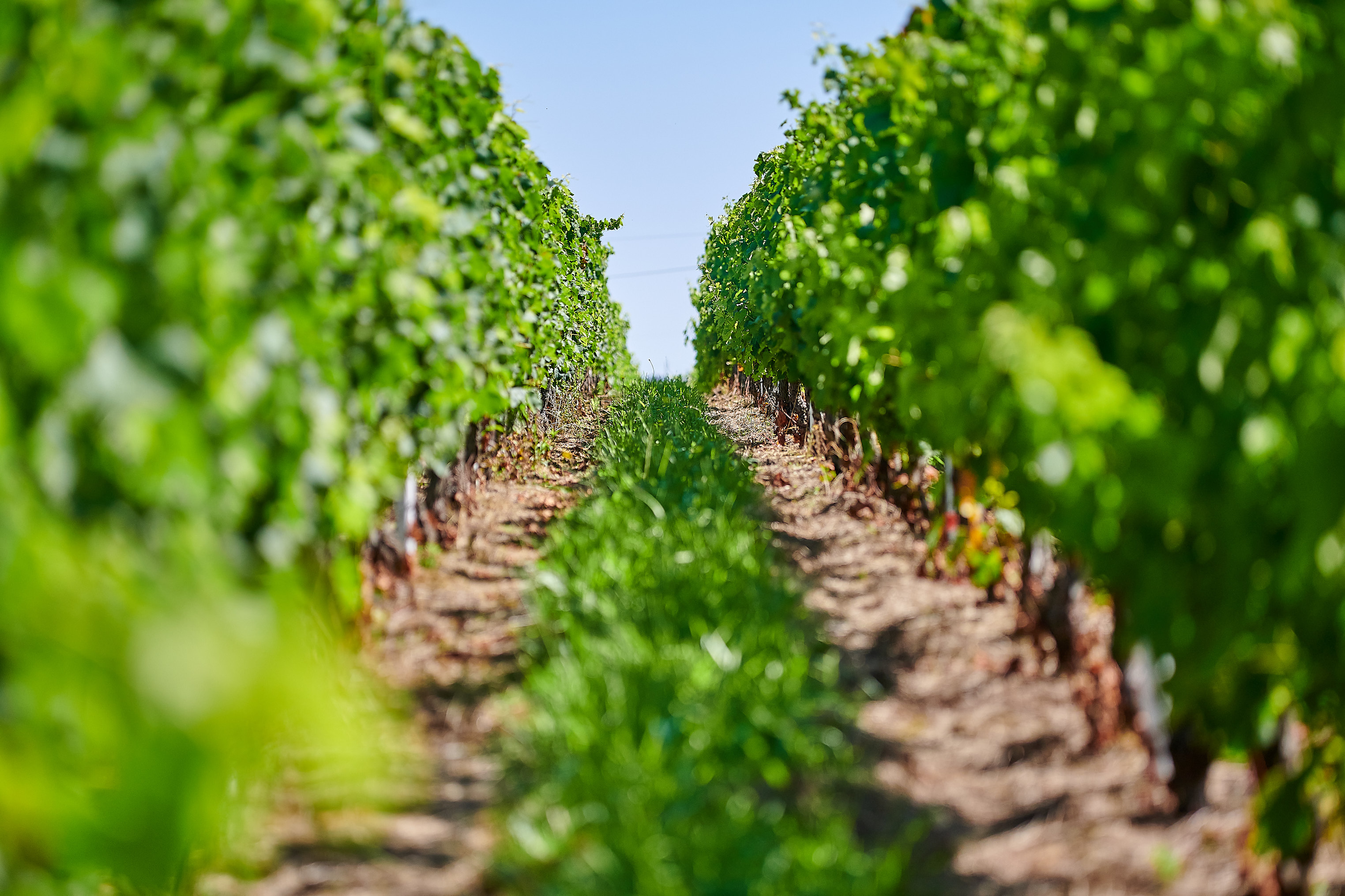 Row of Vines Vignobles Bertin